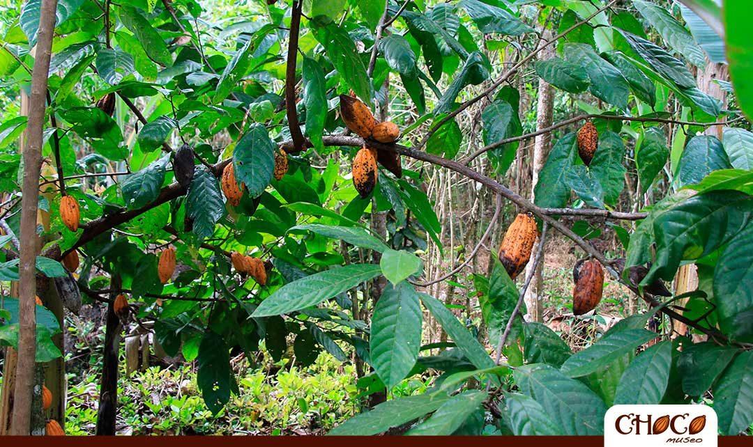 Descubre las plantaciones de cacao del Perú